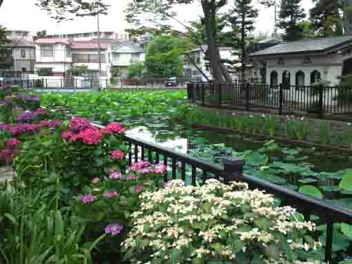 ajisai flowers blooming beside a pond