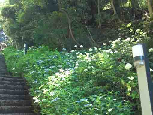 ajisai flowers on the right of stone steps
