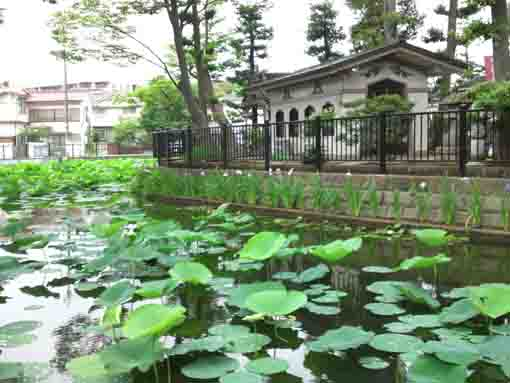 lotus and irises in Hokekyoji