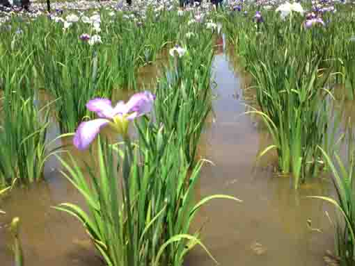 irises flowers blooming on the water