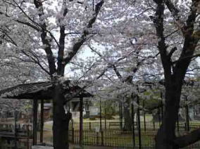 cherry blossoms in Myogyoji Temple