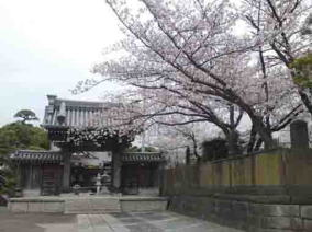 cherry blossoms and Sanmon