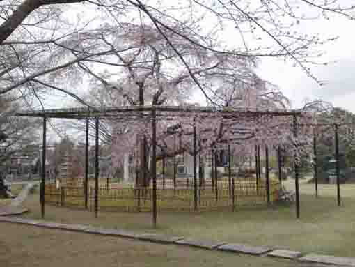 cherry trees in Myogyoji Temple