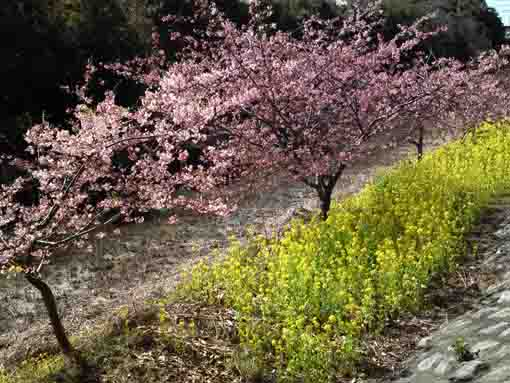 cherry trees and rape blossoms