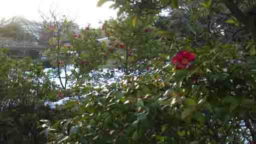 camellias in the heavy snow