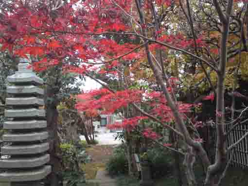 red maple leaves in Chisenin