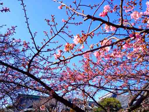 little bit blooming Kawazu Sakura in Chisenin