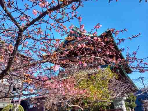 Kawazu Sakura in front of the Niomon