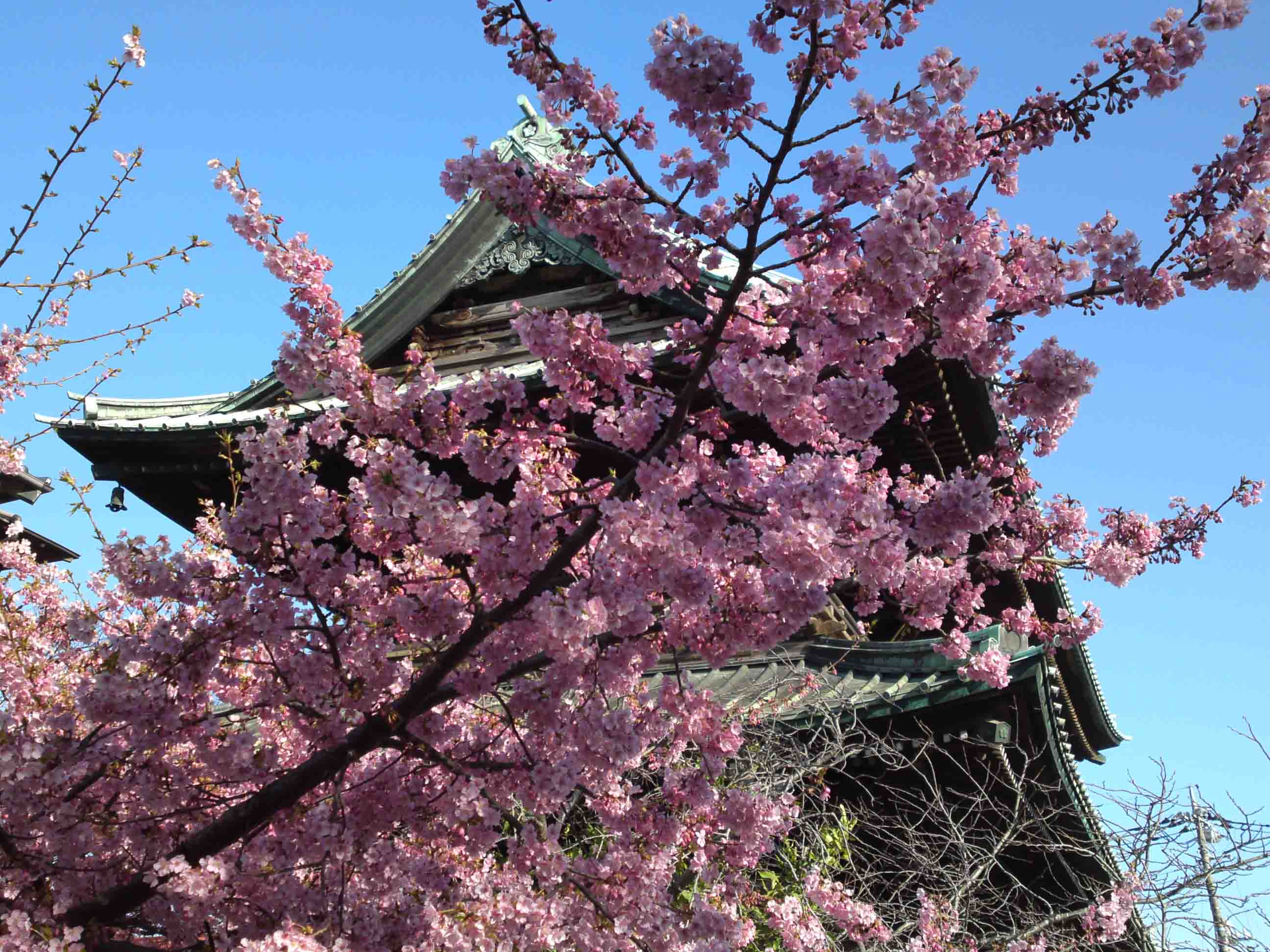cherry blossoms and the niomon gate