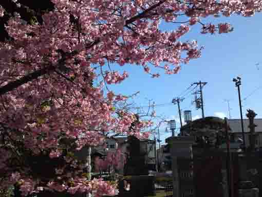 the statue of Nichiren and cherry blossoms