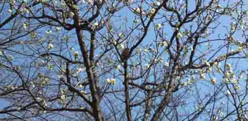 a Japanese white-eye and ume blossoms