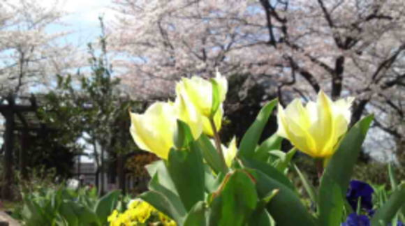 tulips at Nikke Chinju-no-mori
