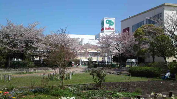 cherry trees in Colton Plaza shopping mall