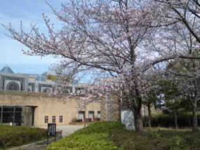 sakura in between the museum and library