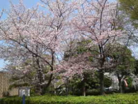 cherry trees beside the museum
