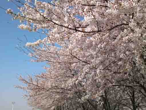 sakura on Edogawa Bank