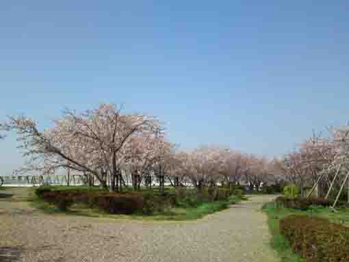 lined cherry trees in the park