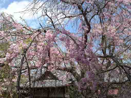 drooping cherry trees in Entonji Temple