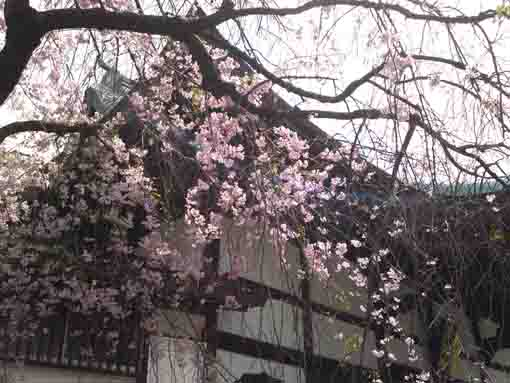 the drooping cherry blossoms in entonji