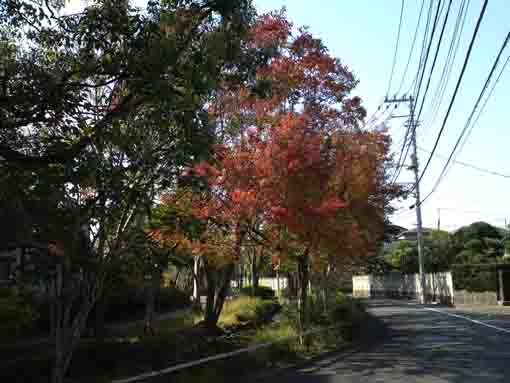 colored maple trees along the road