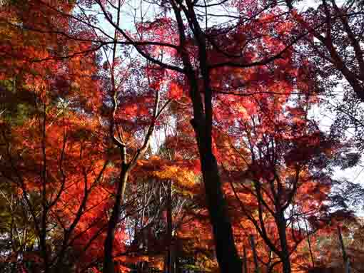 red maple leaves on the mountain