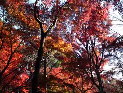 maple leaves in Omachi Nature Park