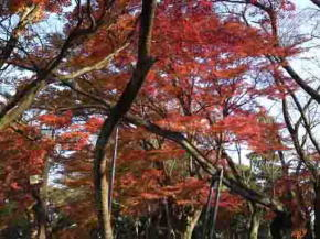 The autumnal leaves in Mamasan Guhoji