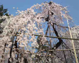 the drooping cherry blossoms at Mama