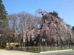 the weeping cherry tree in Mamasan
