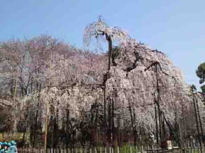 the weeping cherry blossoms in Guhoji
