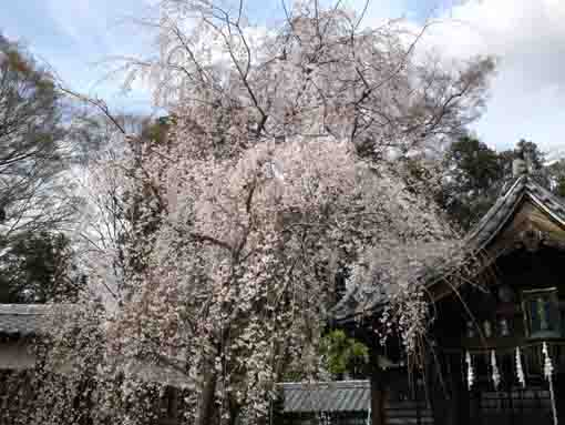 the weeping cherry trees and the Daikokudo
