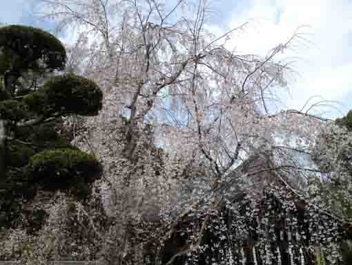 fully blooming weeping cherry blossoms