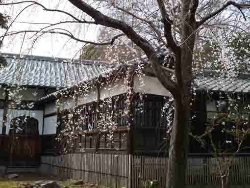Cherry blossoms in Guhoji Temple