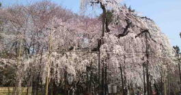 Cherry blossoms in Guhoji