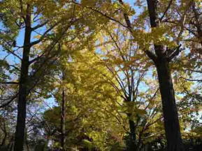 the colored ginko trees in Hachimangu