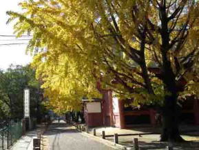 gingko trees over the road  in the shrine
