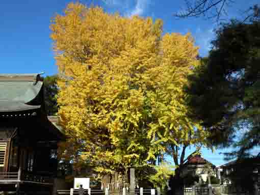 Senbon Icho Gingko Tree