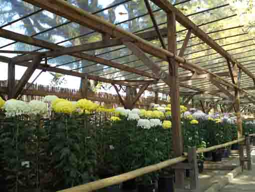 many beautiful chrysanthemums