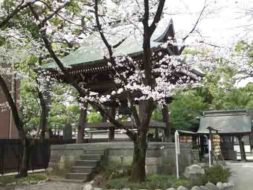the bell tower and cherry blossoms