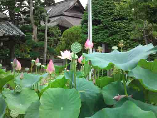 lotus flowers in front of Satsudo