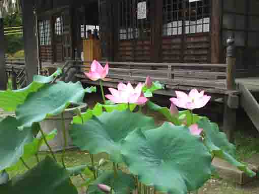 lotus flowers and Satsudo