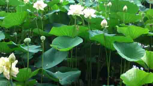 lotus flowers in Ryuo-ike