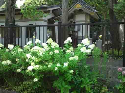 white hydrangeas on the ryuo-ike pond