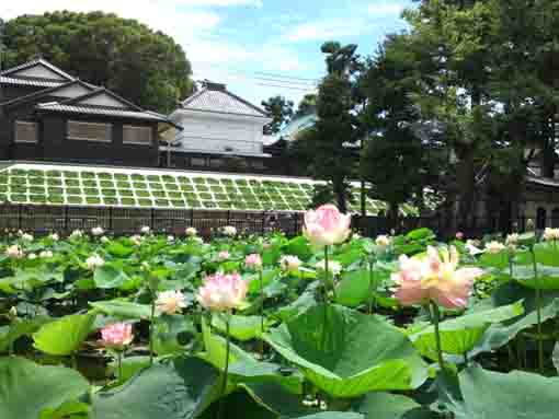 lotus flowers on Ryuo Ike Pond