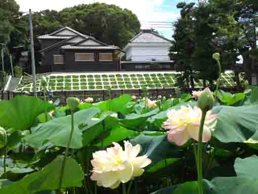 lotus flowers in front of Satsudo Hall