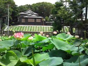 beautiful lotus flowers in Ryuouike pond