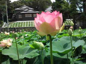 pink lotus flower in Ryuoike pond