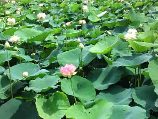 many lotus flowers in Ryuouike pond