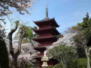 the five-story pagoda and cherry blossoms