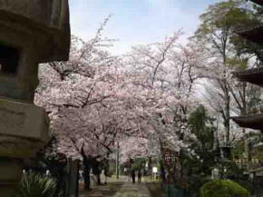 full blooming cherry blossoms in Hokekyoji